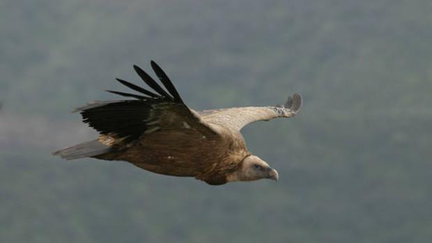 Buitre volando sobre el Parque Nacional de Monfragüe