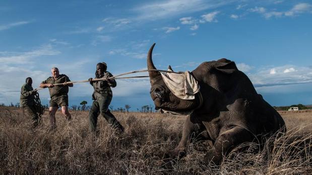 Sudáfrica alberga el 80% de la población mundial de rinocerontes, con al menos 18.000 rinocerontes blancos y cerca de 2.000 negros