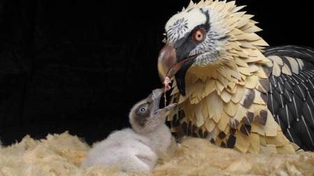 Un adulto de quebrantahuesos alimenta a su cría