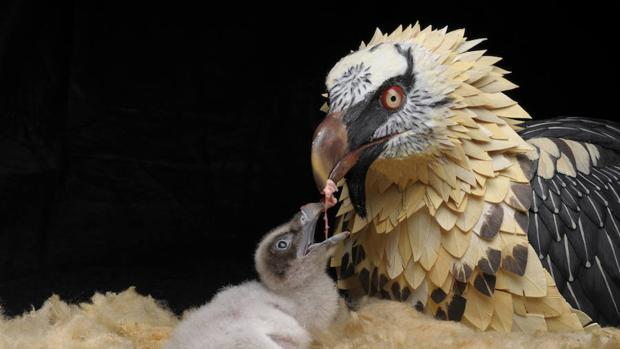 El quebrantahuesos se considera una especie en peligro de extinción en España