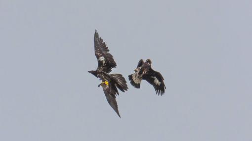 Julia interacciona con un ejemplar joven de águila real