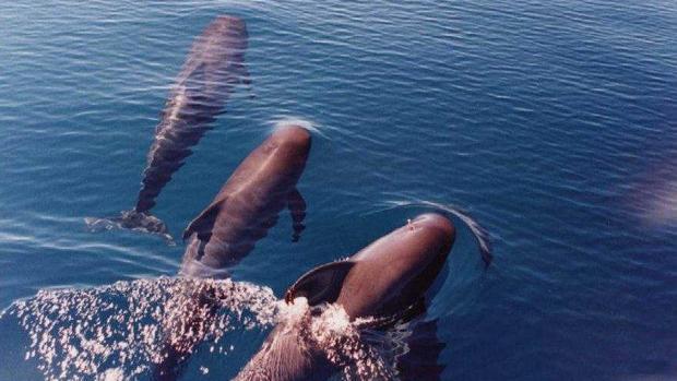 Los delfines mulares y los calderones tropicales sociabilizan en aguas de La Gomera