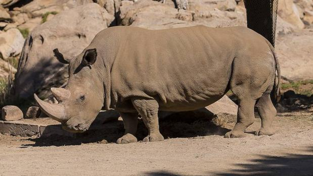 La legalización del comercio interior de cuerno de rinoceronte está pensada como medida de control y para evitar la caza furtiva del animal en Sudáfrica