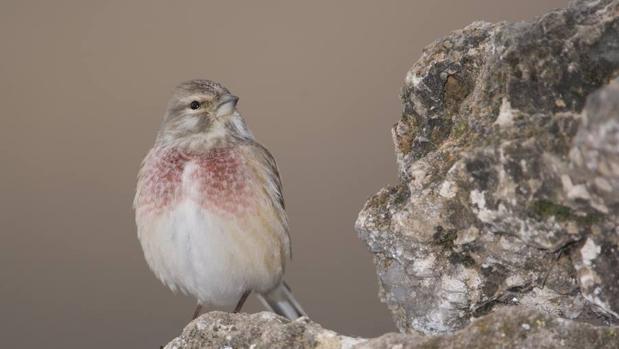 Existe una alternativa a la captura de aves cantoras silvestres: la cria en cautividad