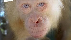 La hembra de orangután es sensible a la luz