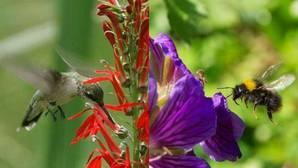 El color y la orientación de las flores atrae a abejas y aves de manera desigual