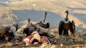 Los buitres tienen una importancia capital en el ecosistema, ya que se comen los cadáveres y evitan así las enfermedades que provocan los cuerpos muertos