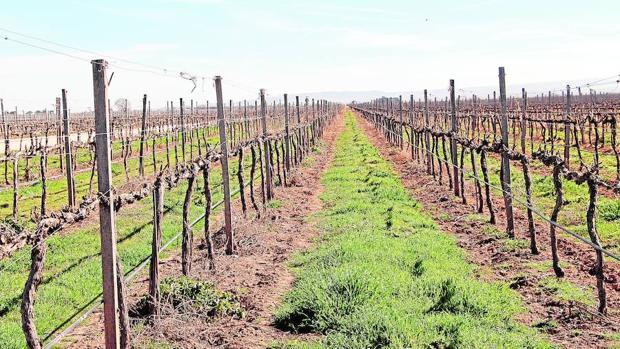 Viñedo con un manto vegetal entre las hileras para evitar la erosión del suelo, pudiendo llegar a reducirse hasta en un 90%