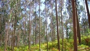 La asociación ecologista Adega firma el estudio sobre cómo afectan negativamente al ecosistema de los ríos gallegos las plantaciones de eucaliptos