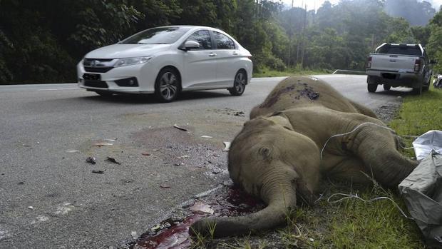 Una cría de elefante ha sido hallada muerta en una autopista de Malasia