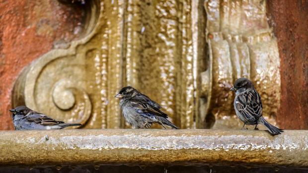 Gorriones en una fuente