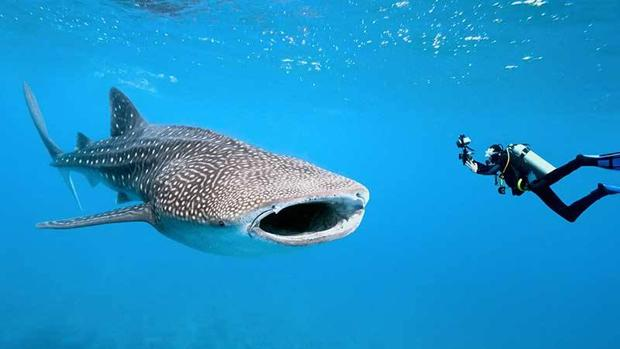 Isla Mujeres celebrará la décima edición del Festival del Tiburón Ballena entre el 20 y el 23 de julio