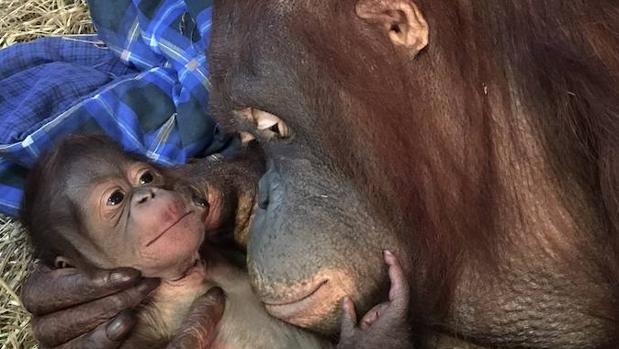 Dos ejemplares de Orangután de Borneo