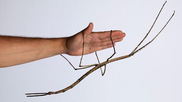 El insecto más grande del mundo, de 64 centímetros de largo, es un ejemplar de de Phryganistria Chinensis