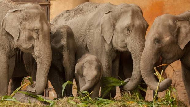 Los elefantes asiáticos no parecen modificar el bosque como los africanos