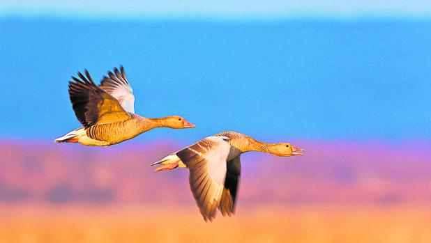 Más de 60.000 aves han cruzado, hasta el mes de agosto, el Pirineo aragonés