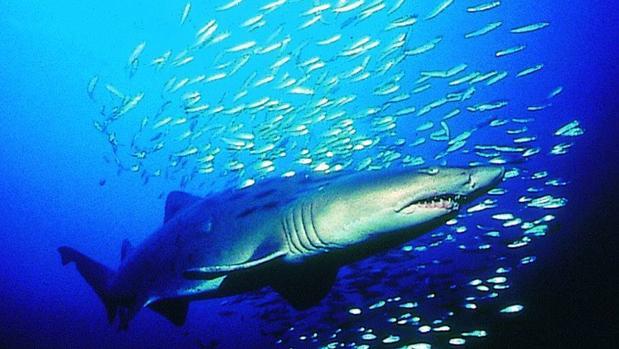 Las Islas Galápagos albergan la mayor biomasa de tiburones del planeta y cuentan con una zona protegida de 40.000 kilómetros cuadrados