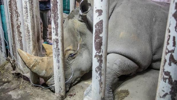 Una hembra de rinoceronte blanco es la última esperanza para salvar al rinoceronte blanco del norte