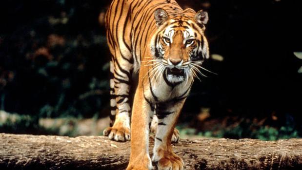 El tigre de Sumatra se recupera en el Parque Nacional de Bukit Barisan Selatan, Patrimonio de la Humanidad En Peligro desde 2011
