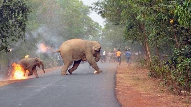 Prender fuego a los elefantes, un tipo de humillación habitual en India