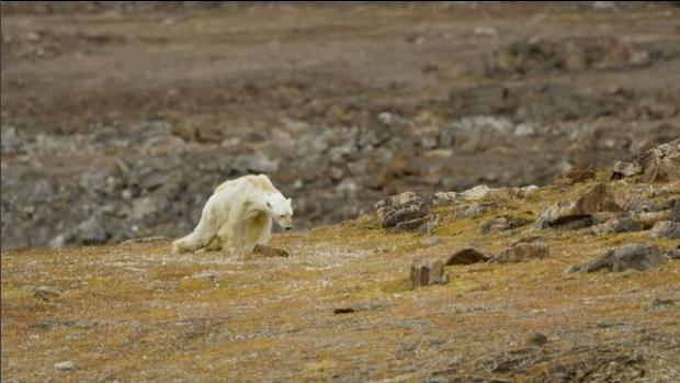 Imagen del famélico oso polar grabado en Canadá