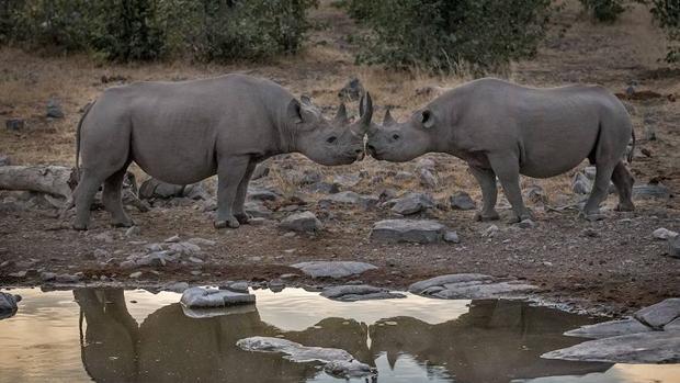1.028 ejemplares de rinocerontes fueron abatidos ilegalmente en Sudáfrica en 2017