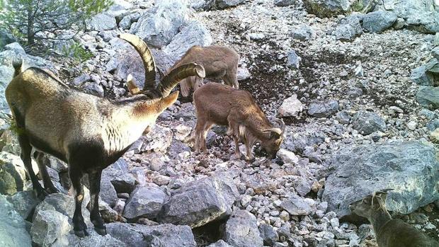 La errónea clasificación como especie exótica invasora del arruí en España