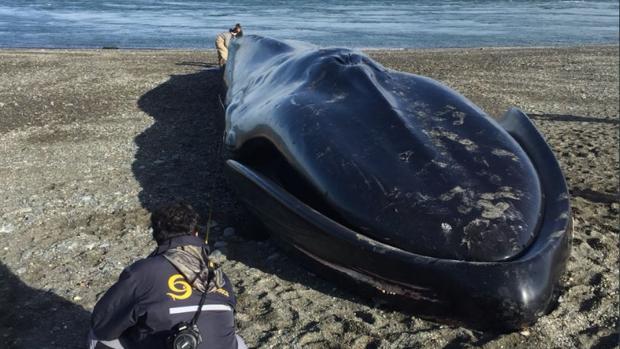 La ballena azul varó en la costa chilena el fin de semana pasado