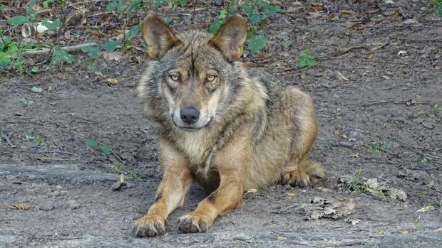 Cinco prácticas que garantizan la coexistencia entre la ganadería y el lobo