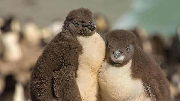 Récord de apadrinamientos de pingüinos de la Antártida: 250.388