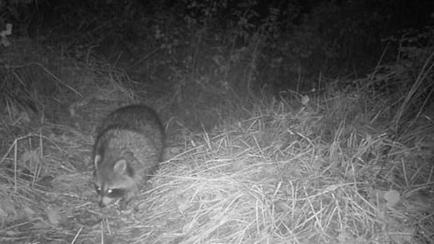 Alertan sobre la necesidad de controlar al mapache en Europa