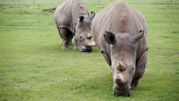 Las dos últimas hembras de rinoceronte blanco del norte: la hija y nieta de «Sudán»