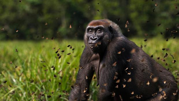 África ecuatorial alberga más gorilas y chimpancés de los que se creía