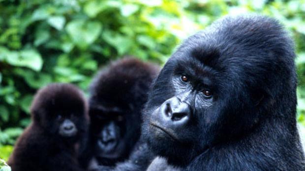 El número de gorilas de montaña supera los 1.000 ejemplares