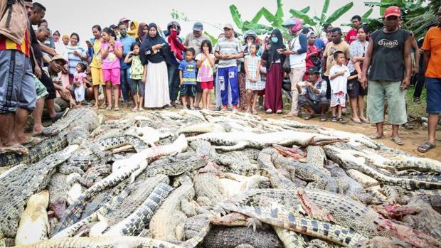 Decenas de personas contemplan la masacre de cocodrilos