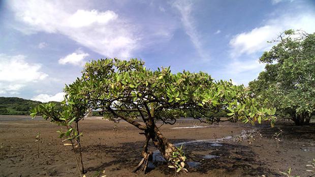 La rica biodiversidad faunística que albergan los bosques de manglares
