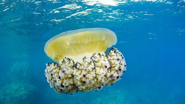 Las 5 medusas más peligrosas que albergan las aguas españolas
