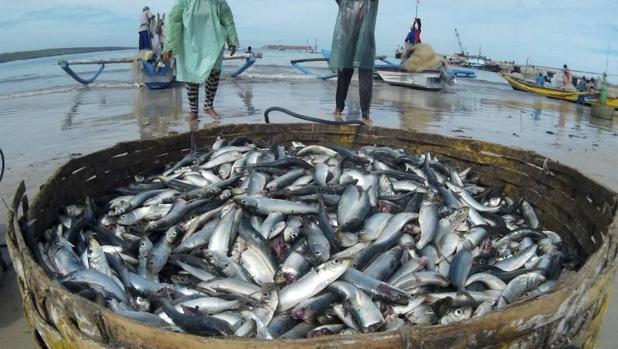 Las flotas recorren el doble de distancia que hace 65 años para capturar casi cuatro veces menos de pescado