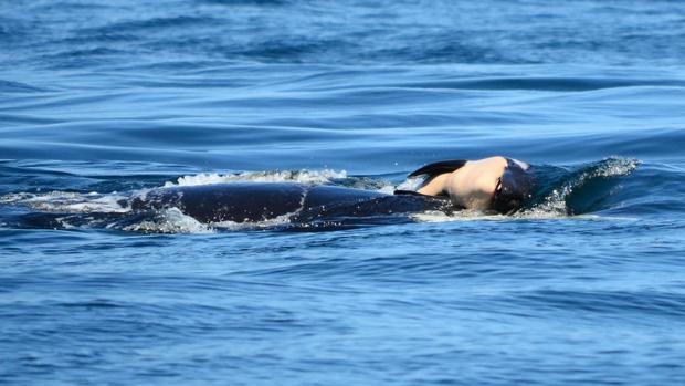 La orca llamada J35, o Tahlequah, arrastrando a su cría muerta el séptimo día