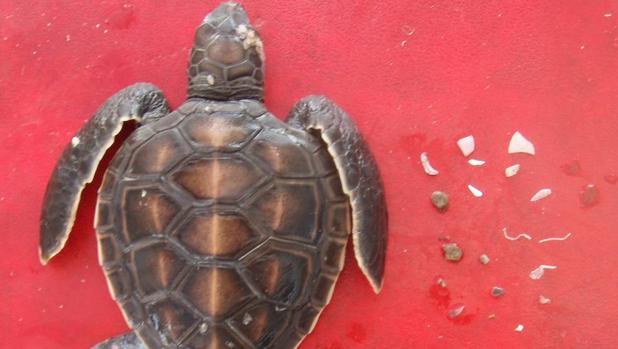 Una tortuga marina tiene 22% de probabilidad de morir si ingiere un plástico