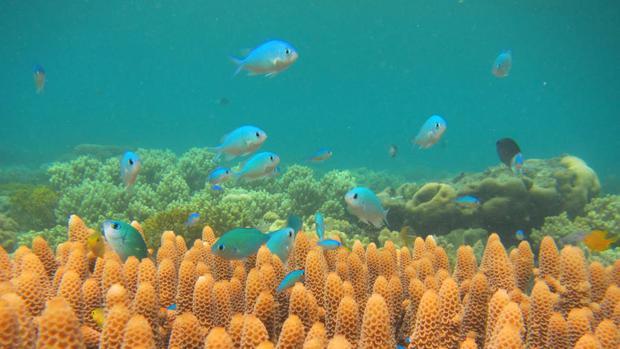 Las gorgonias están sustituyendo a los corales en los arrecifes por el cambio climático