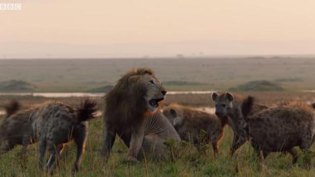 Impactante vídeo: Un león salva a su compañero de ser devorado por un grupo de hienas