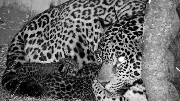 Salvando al jaguar, la icónica y amenazada especie de América del Sur