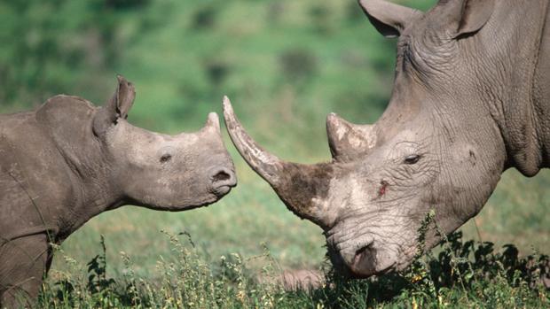 Rinoceronte: 421 ejemplares abatidos en el Parque Nacional Kruger durante 2018