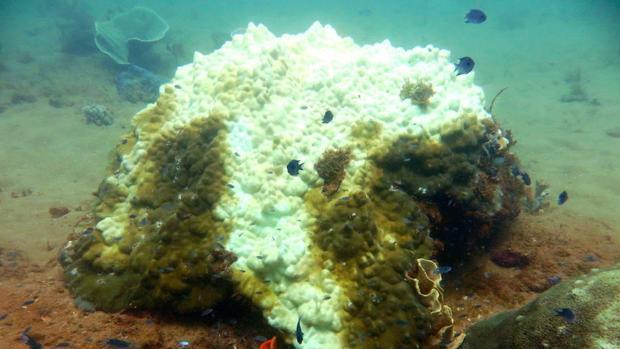 ¿Cuánto tiempo tardan en recuperarse los arrecifes de coral de un episodio de blanqueamiento?