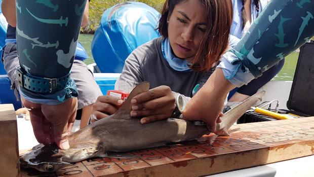 Descubren nueva área de crianza de tiburones martillo en las Islas Galápagos