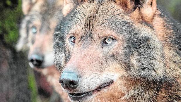 La tupida red de carreteras de la Comunidad de Madrid frena la expansión del lobo hacia el sur de la península