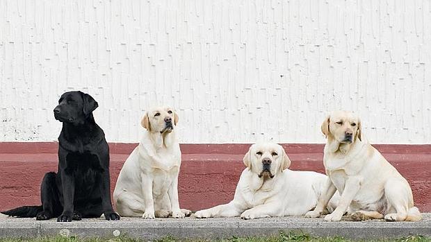 No importa de que raza sea el perro, sino de si tiene disposición de ayuda.