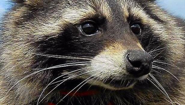 Oreo, el mapache que sirvió para crear el personaje de Rocket Raccoon