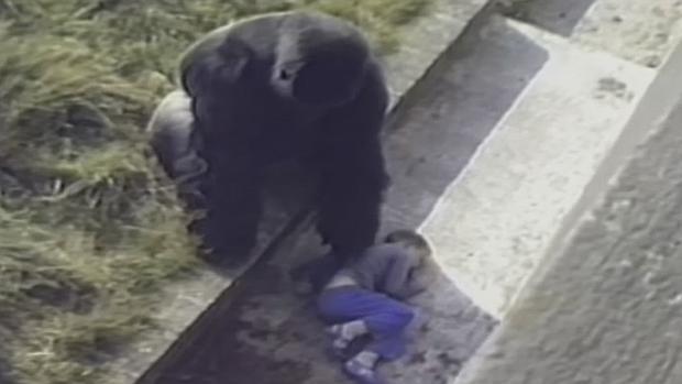 Jambo, el gorila de espalda plateada que se abalanzó sobre un niño insconsciente... para protegerlo